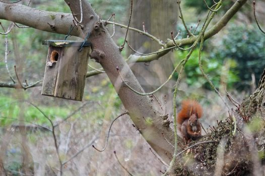Ein Eichhörnchen sitzt mit einer Nuss zwischen den Pfoten im Baum. Rechts von ihm ist ein Vogelhäuschen an einem Ast angebracht.