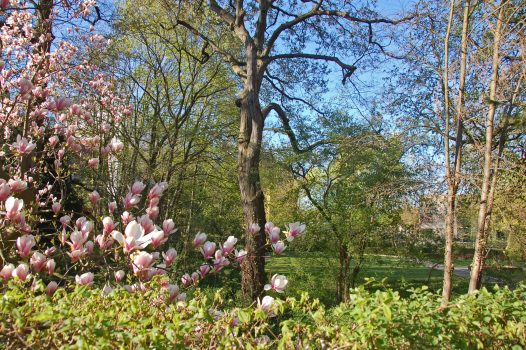 Blick auf das grüne Gelände des Blindenhilfswerkes Berlin e.V. Im Vordergrund sind Magnolienblüten zu sehen.