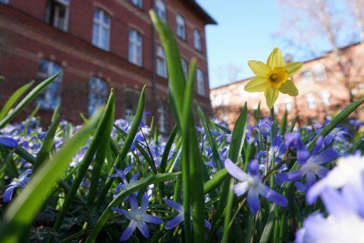 Blick in ein Beet mit vielen blauen Blumen sowie einer gelben Narzisse. Im Hintergrund ist das Gebäude der Rothenburgstraße 15 zu sehen.